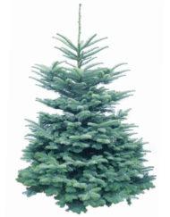 Cut Noble Fir Christmas Tree