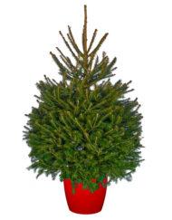 Pot Grown Norway Spruce